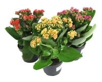 Каланхое микс Минимальный заказ- 5 растений! Цветовая гамма разнообразная Размер: 20- 25 см