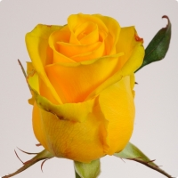 Роза Пенни Лейн Цвет: светло-желтый Ширина бутона: 9 - 11 см Высота бутона: 4 - 5 см Длина стебля: 60 - 90 см