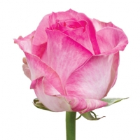 Роза Канди Цвет: розовый Ширина бутона:  9 - 12 см Высота бутона: 4 - 5 см Длина стебля: 60 - 90 см