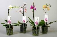 Мини Орхидея