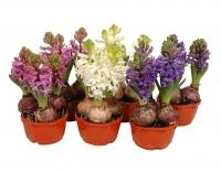 Гиацинты на 8 Марта Минимальный заказ- 5 растений! Состав: 3 луковицы Высота: 15 - 17 см Цветовая гамма разнообразная Оформление горшка по индивидуальному заказу