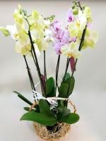 Композиция из Орхидей Состав: Орхидеи Фаленопсис в корзине- 3 шт Цветовая гамма разнообразная