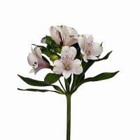 Альстромерия Альстромерия известна нам своей красотой и разнообразием цветов. Альстромерия цветок хрупкий и нежный, не имеет запаха. Прекрасно смотрится в сочетании с розами или любыми другими цветами. Букеты из альстромерии всегда выглядят интересно и ярко, они будут прекрасным подарком как для любимого человека так и для коллеги в День его рождения. Альстромерия иммет многочисленную цветовую гамму.