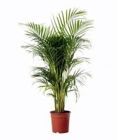 Пальма Арека Свет: яркий. Растение переносит прямой солнечный свет. Рекомендуется притенять от полуденного солнца в летний период.  Температура: в летний период оптимальная 22-25°C. В остальные времена года 18-23°C, не ниже 16°C.  Полив: в весенне-летний период обильный. С осени полив сокращают до умеренного, не доводя земляной ком до полной просушки. Влажность воздуха: повышенная. В летнее время рекомендуется регулярно опрыскивать.  Подкормка: обычным цветочным удобрением, летом 2 раза в месяц, в другие периоды – 1 раз в месяц. Период покоя: не выражен.  Пересадка: молодые активно растущие экземпляры следует переваливать ежегодно, взрослые — через 3—4 года, у кадочных экземпляров следует вместо перевалки менять ежегодно верхний слой субстрата. Размножение: семенами, весной-летом.  Размер: высота- 100- 110 см.