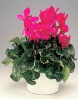Цикламен  Свет: яркий рассеянный. От прямых солнечных лучей растение притеняют. Температура: желательно светлое и прохладное содержание зимой (около 10°C, не выше 12-14°C). Летом предпочтительна температура в районе 18-25°C. Полив: во время цветения растение поливают обильно или умеренно. После отцветания полив постепенно сокращают, а к началу лета, когда все листья пожелтеют и засохнут, а клубни останутся голыми, поливают и вовсе редко. Влажность воздуха: до появления бутонов растения время от времени опрыскивают. С появлением бутонов опрыскивание следует прекратить, иначе они могут загнить. Воду можно добавлять в поддон, заполненный керамзитом, галькой или торфом. Подкормка: в период нарастания листовой массы до начала цветения растения каждые 2 недели подкармливают полным минеральным удобрением. Обрезка: отцветшие и увядшие цветки удаляют вместе с цветоножкой. По мере увядания цветков и пожелтения листьев их отщипывают (но не обрезают) у самого клубня. Период покоя: в зависимости от вида. У Цикламена персидского период покоя летом. Растение держат в умеренно светлом месте, не поливают. Период цветения- 6 месяцев. Пересадка: в конце лета и осенью. Размножение: семенами, делением клубня. Размер: диаметр горшка- 14 см, высота- 25 см. Цветовая гамма растения в ассортименте.