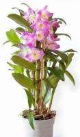 Орхидея Дендробиум Орхидеи Дендробиумнеобходимо хорошо освещенное помещение, но в полдень необходимо притенять от прямых солнечных лучей. Влажность воздуха: около 60% и выше, поэтому его лучше разместить на поддоне с водой или мокрой галькой. Полив: Обильный во время роста весной и летом, почва должна быть все время влажной.Главное- не заливать и если в комнате прохладно, надо поливать реже, чтоб не загнили корни. Зимой полив ограниченный. Подкормка: растение можно подкармливатьтолько во время роста новых побегов. Температура: теплолюбив, зимой оптимальная температура около 22-25°C, ночной минимум 15°C. Зимой период покоя при содержании в прохладных условиях - около 12°C. Пересадка:только тогда, когда корни начинают вылезать из горшка. Дендробиум пересаживают через 3-4 года, и горшок берут не слишком большой. Размер:высота 45- 50 см.